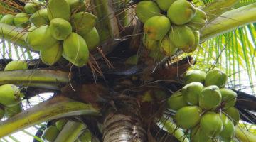 Kokos Palme. Bild: Bishnu Sarangi auf Pixabay